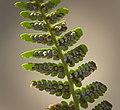 Fern sporangia (explored) - Flickr - hedera.baltica.jpg