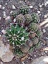 Ferocactus, Barrel cactus - Φερόκακτος 01.jpg