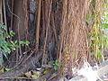 Ficus elastica0.jpg
