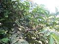 Ficus semicordataNP.jpg