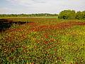 Field of Trifolium incarnatum.jpg