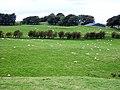 Fields of Sheep near Dodside - geograph.org.uk - 245421.jpg