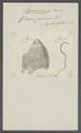 Filaria piscium - - Print - Iconographia Zoologica - Special Collections University of Amsterdam - UBAINV0274 104 04 0004.tif