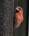 Finches – Family Fringillidae.jpg