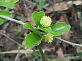 Flacourtia indica bubai01.jpg