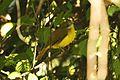 Flavescent Bulbul Pycnonotus flavescens by Dr. Raju Kasambe (2).JPG