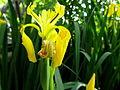 Fleur jaune 02.JPG