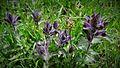 Fleurs en Vanoise, 2016 (4).jpg