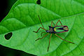 Flickr - ggallice - Two-horned bug nymph.jpg