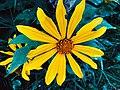 Flor amarilla desconocida.jpg
