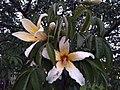 Flor de palo borracho.jpg