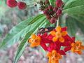 Flores polinizadas por insectos de todo tipo en Buga.JPG