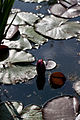 Flower, Water Lily - Flickr - nekonomania (3).jpg