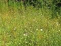 Flower meadow, Cults Quarry - geograph.org.uk - 1441102.jpg