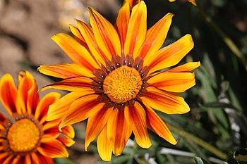 Flower of Gazania-genus plant, 2016.jpg