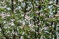 Flowering Apple Tree Blossoms PLT-FL-AB-1.jpg