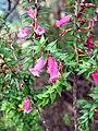 Flowering Heath Plant.jpg