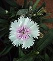 Flowers - Uncategorised Garden plants 226.JPG