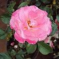 Flowers - Uncategorised Garden plants 279.JPG
