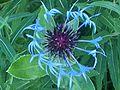 Flowers 27 June 2010 (6).JPG