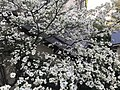 Flowers of Cornus florida 20190416.jpg