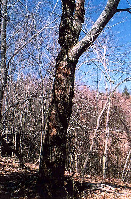 chestnut blight and american chestnut trees essay