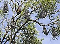 Flying Foxes-02+ (148069296).jpg