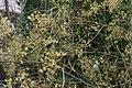Foeniculum vulgare Purpureum 1zz.jpg