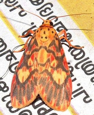 Barsine (moth) - A Barsine cuneonotatus