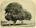 Forchhammeria pallida 1895.jpg