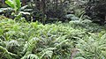 Forest Opening Filled By Ferns, Mount Makiling - panoramio.jpg