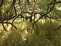Forest Vines.jpg