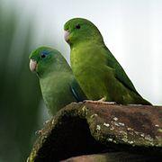 Forpus conspicillatus -Colombia -pair-8-3c.jpg