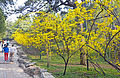 Forsythia in bloom, Summer Palace, Beijing.jpg