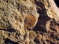 Fossiliferous sandstone (Vinton Member, Logan Formation, Lower Mississippian; Hanover Pit, Licking County, Ohio, USA) 1 (40594997013).jpg