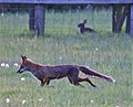 Fox heading out to hunt (49902782387).jpg