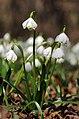Frühlings-Knotenblume, Leucojum vernum 39.JPG