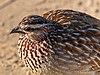 Francolín capirotado (Dendroperdix sephaena), parque nacional Kruger, Sudáfrica, 2018-07-26, DD 12.jpg