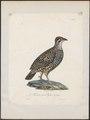 Francolinus pintadeanus - 1825-1834 - Print - Iconographia Zoologica - Special Collections University of Amsterdam - UBA01 IZ17100075.tif