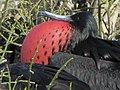 Frigatebirds - North Seymour Island - Galapagos Islands - Ecuador (4870552527).jpg