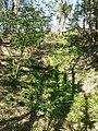Fritillaria imperialis sl6.jpg