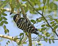 Fulvous-breasted Woodpecker (Dendrocopos macei) - Flickr - Lip Kee (2).jpg