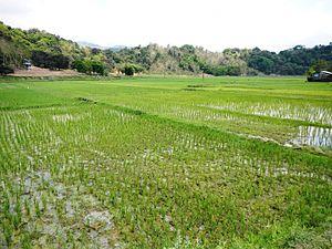 La Union - Paddy fields in Naguilian.