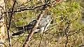 Gök Common Cuckoo (19729569113).jpg