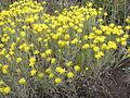 Galatella villosa (flowers and leaves).jpg