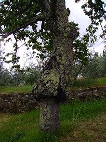 Portainjerto wikipedia la enciclopedia libre for Incompatibilidad en plantas