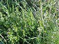 Galium cruciata, the Crosswort at Todhills Community woodland, Stevenston, Ayrshire, Scotland.jpg