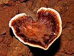 Ganoderma species W IMG 2721.jpg