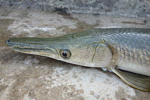 River Monsters - Alligator gar