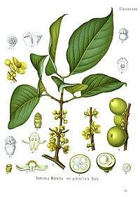 Garcinia morella - Köhler–s Medizinal-Pflanzen-063